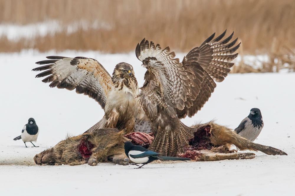 WG088 Mäusebussarde / buzzards