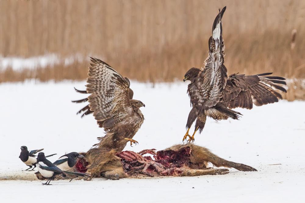 WG090 Mäusebussarde / buzzards
