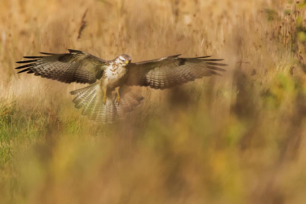 WG151 Mäusebussard / buzzard
