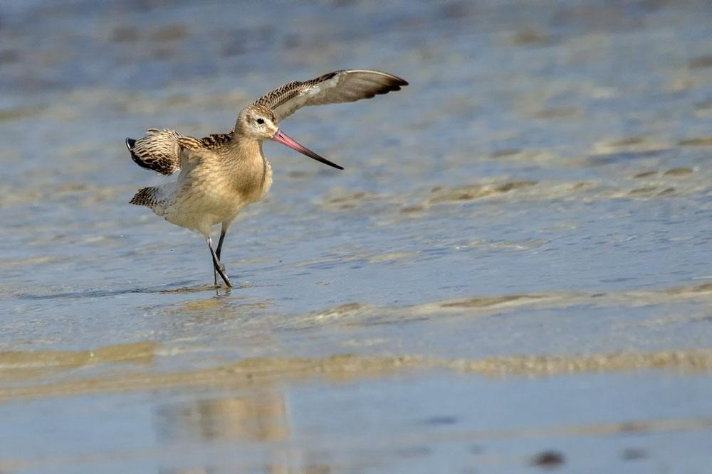 HL41 Pfuhlschnepfe / bar-tailed godwit