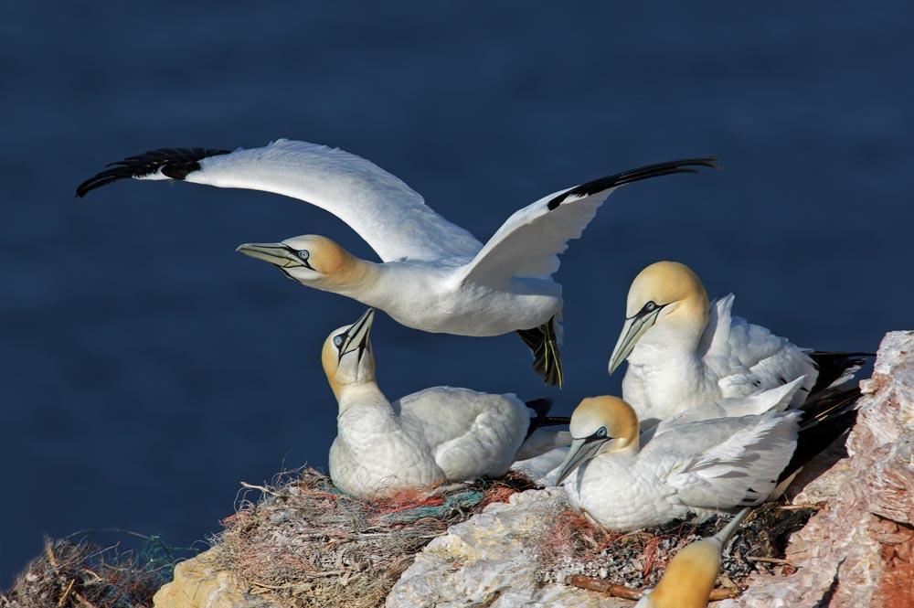 HL47 Basstölpel / gannets