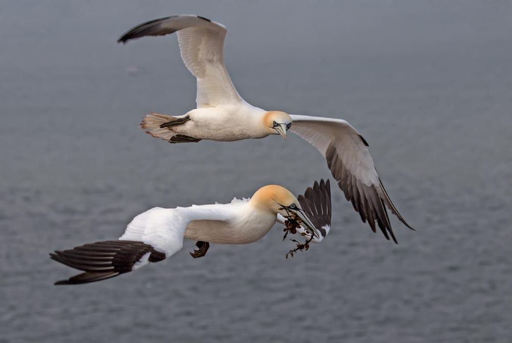 HL53 Basstölpel / gannets