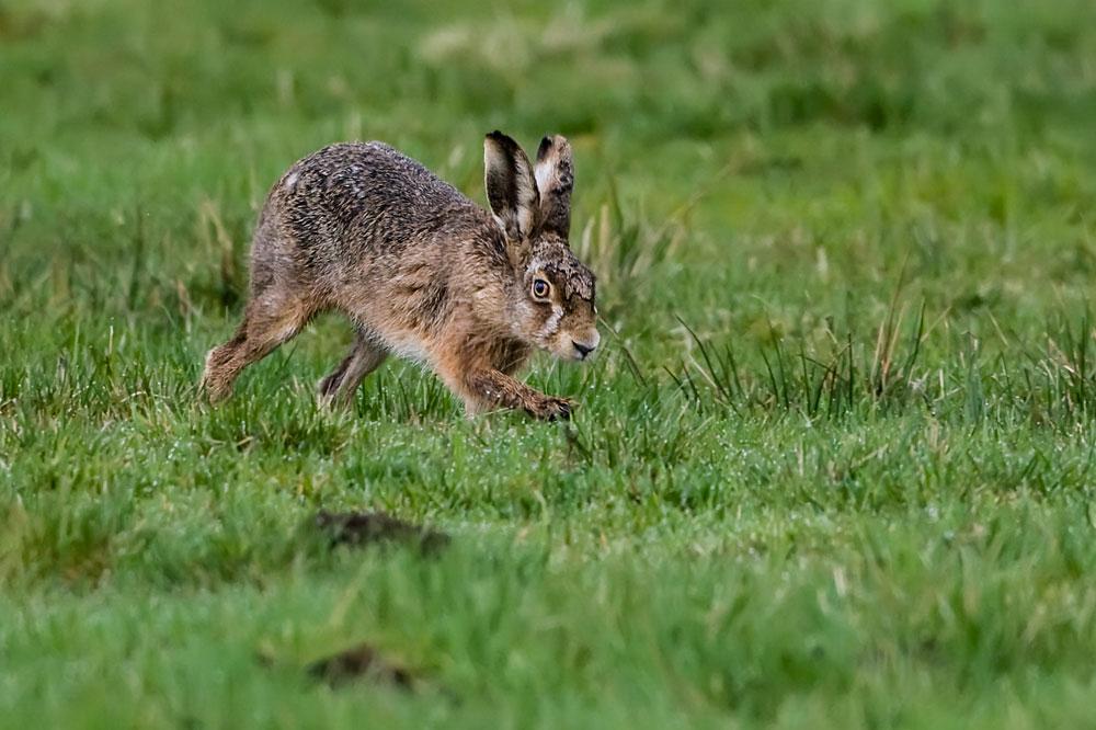 SW02 Feldhase / hare