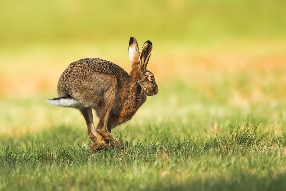 SW11 Feldhase / hare