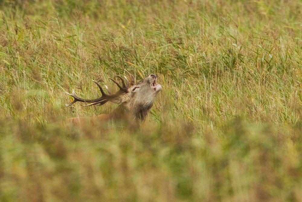 SW29 Rothirsch / red deer