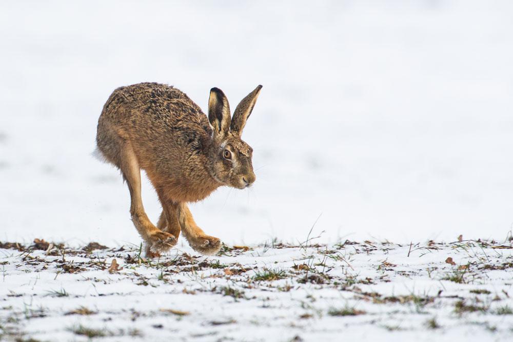SW44 Feldhase / hare