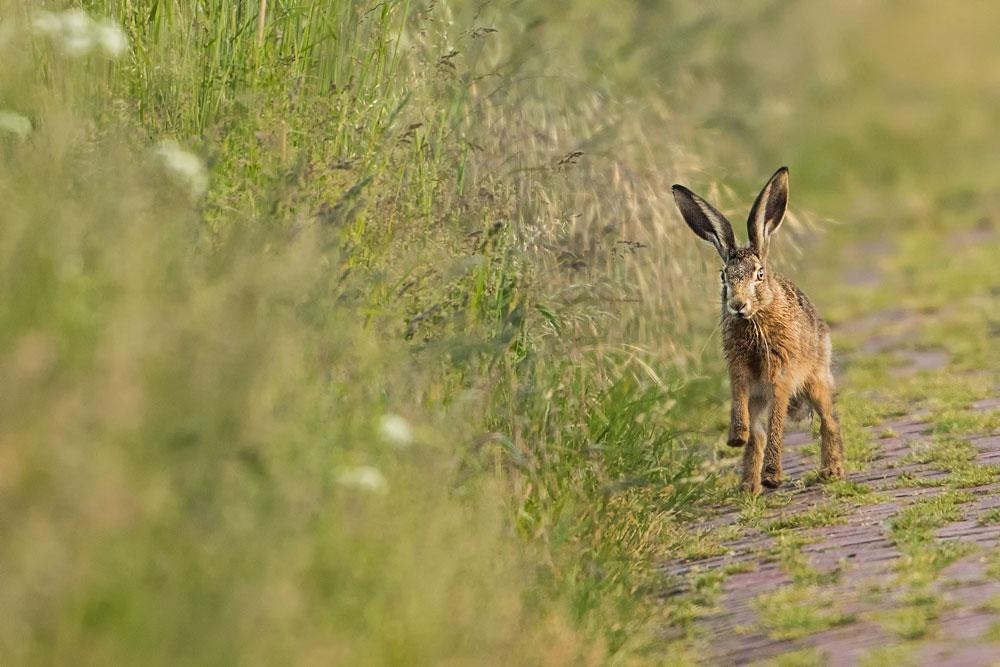 SW64 Feldhase / hare