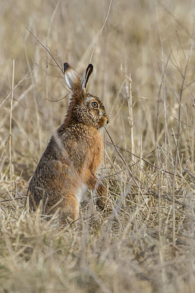 SW73 Feldhase / hare