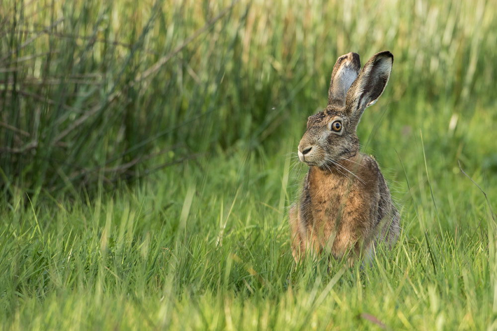 SW79 Feldhase / hare