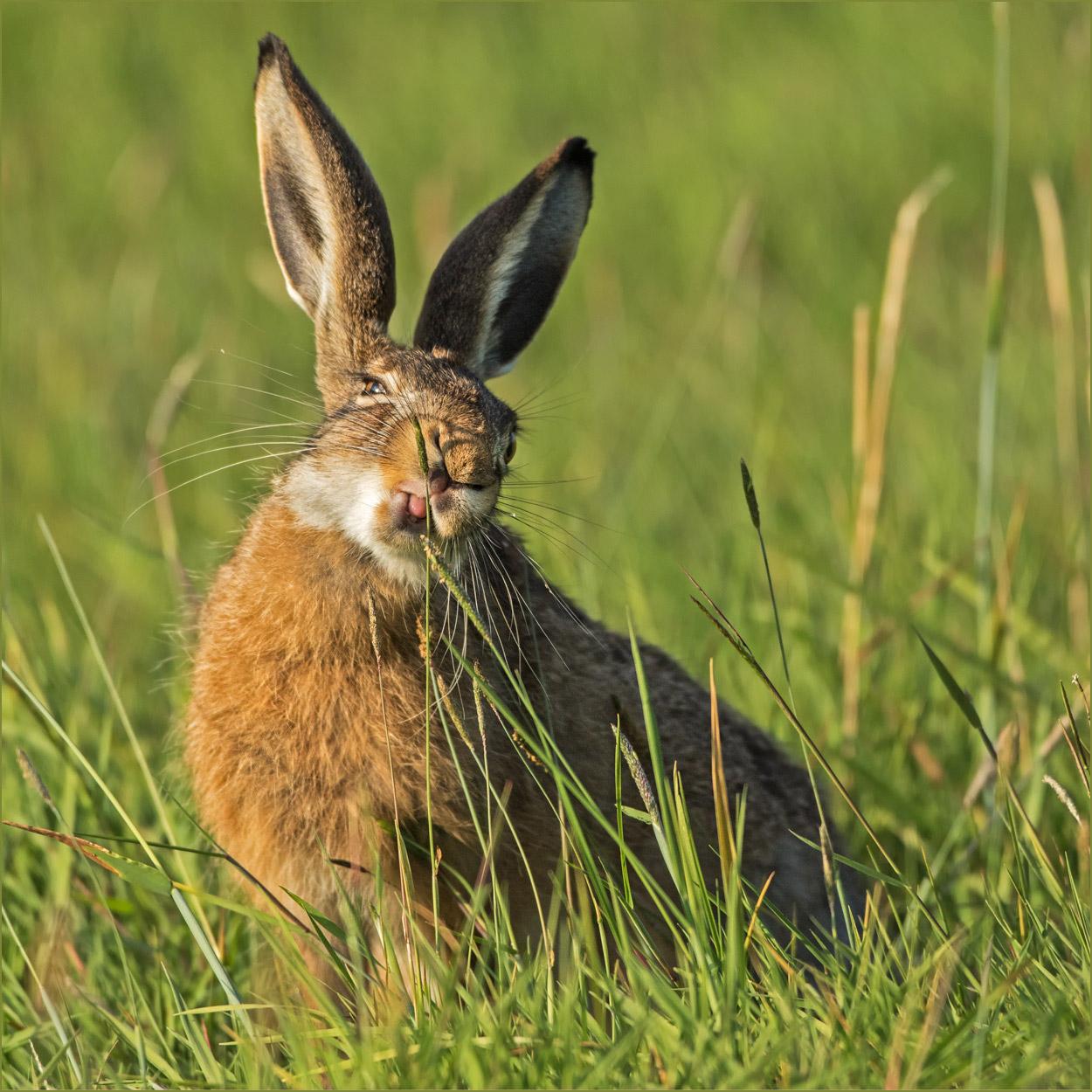 SW093 Feldhase / hare