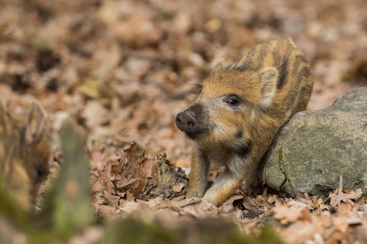 TWS124 Frischling /young boar