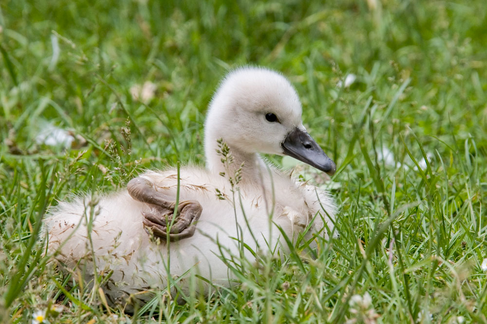 VS029 Schwanenküken / swan chick