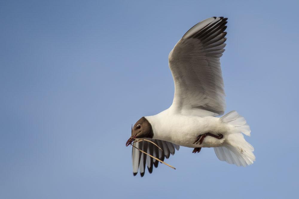 VS034 Lachmöwe / black-headed gull