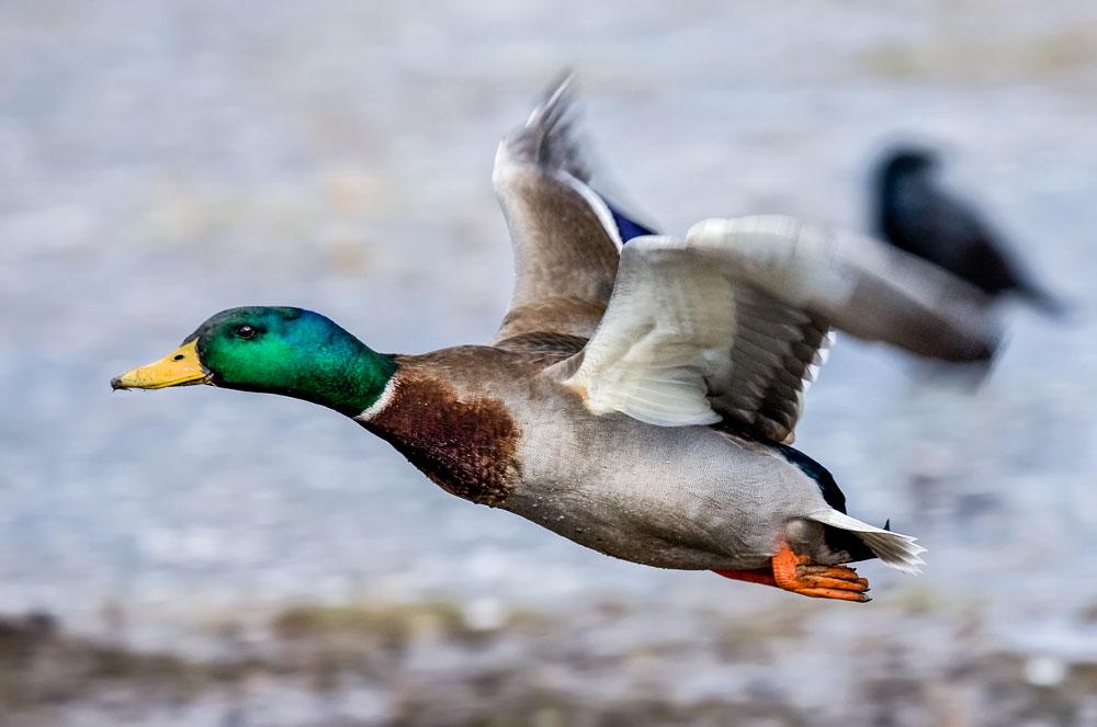 VS041 Stockente / mallard duck