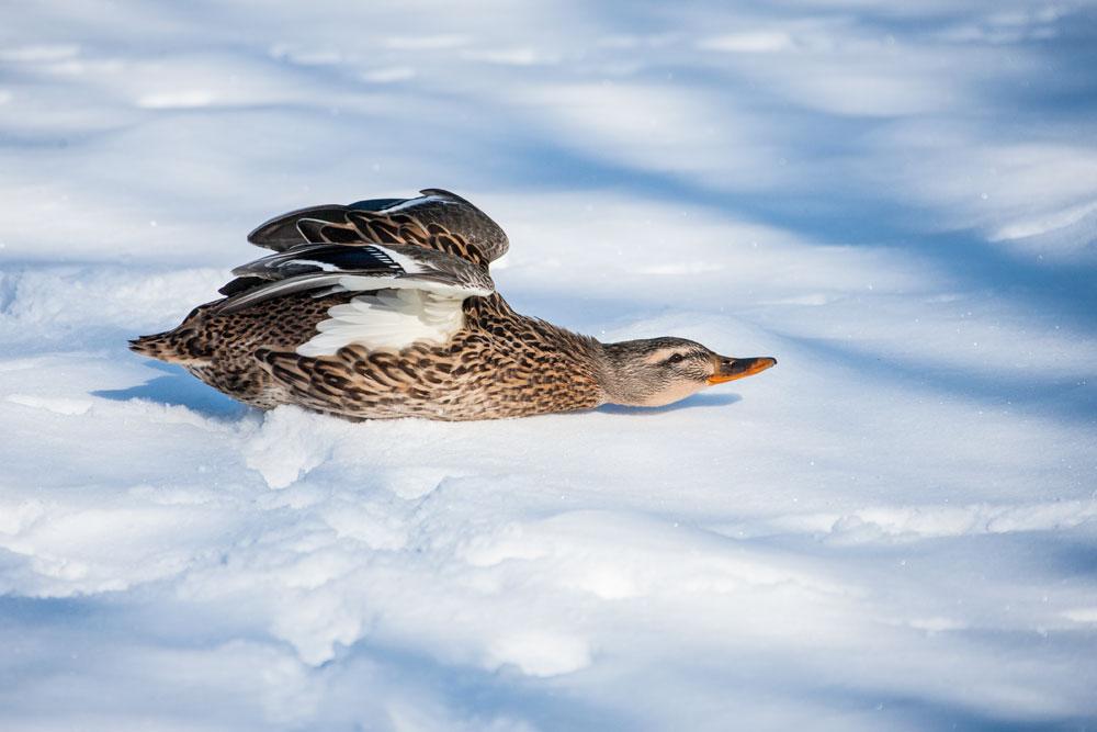 VS042 Stockente / mallard duck