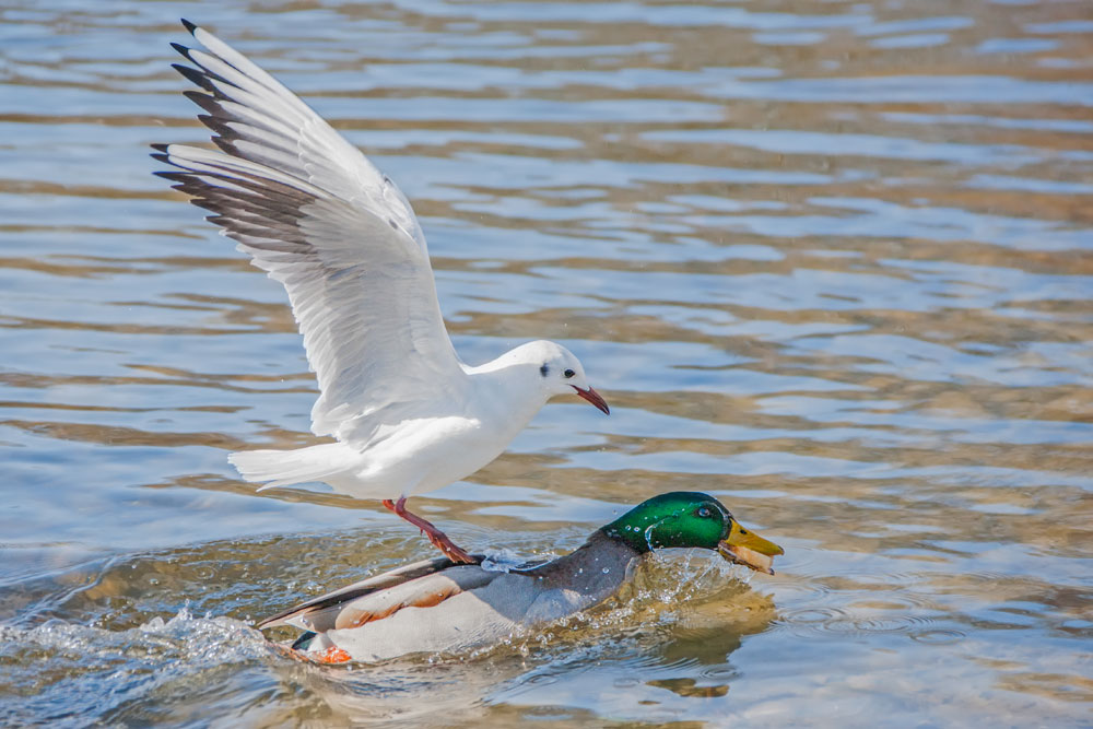 VS134 Stockente und Lachmöwe / mallard duck and black-headed gull