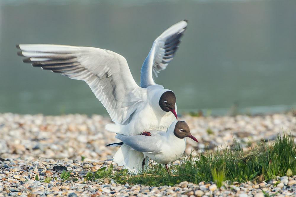 VS056 Lachmöwe / black-headed gull