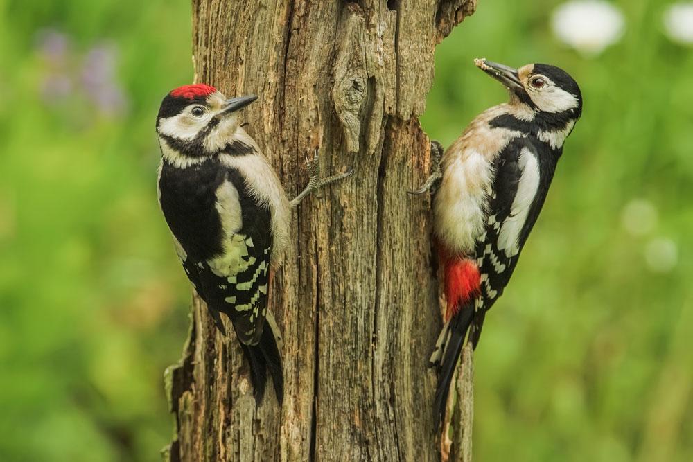 VS070 Buntspechte / spottet woodpeckers