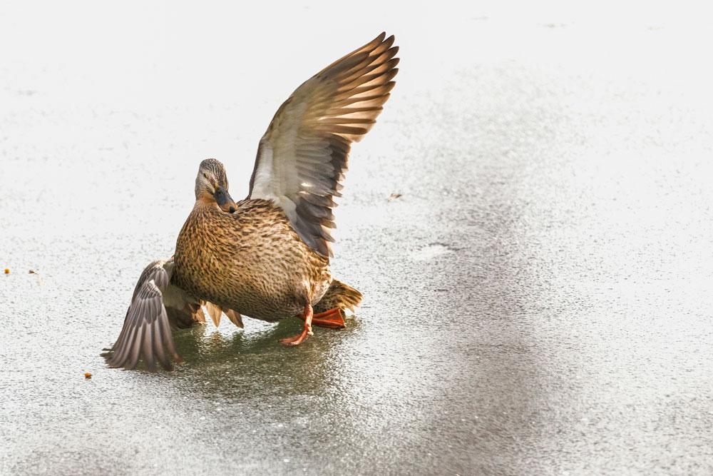 VS074 Stockente / mallard duck