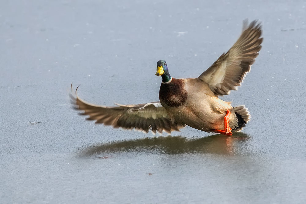 VS075 Stockente / mallard duck
