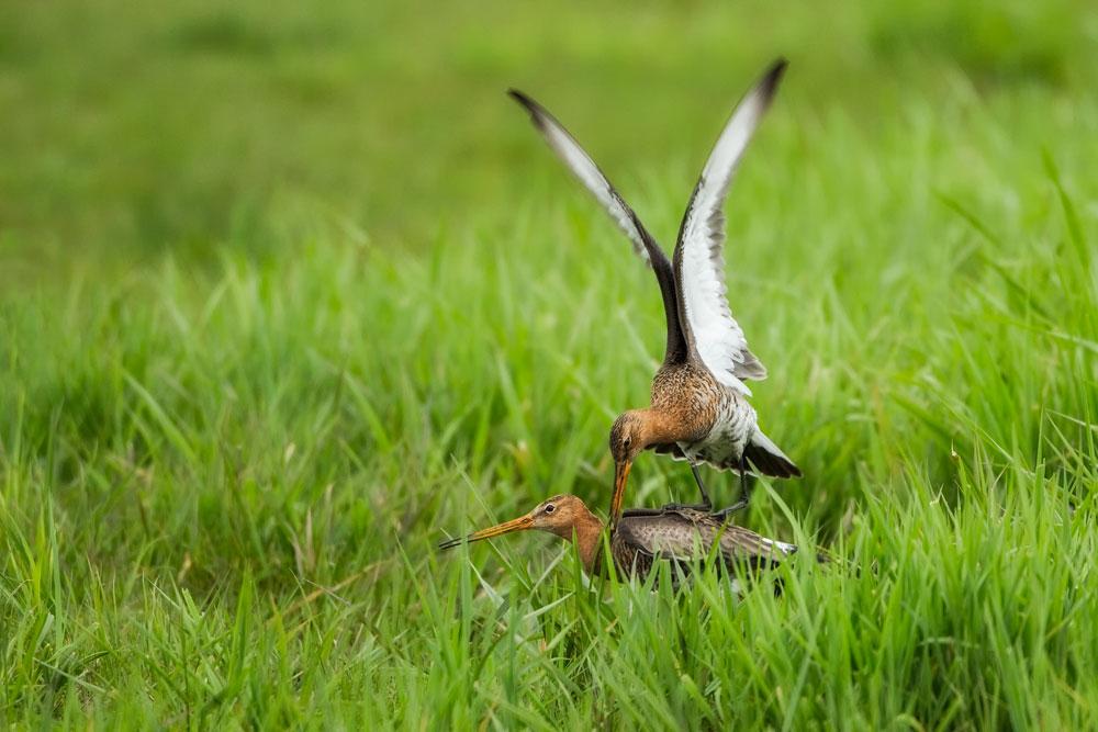 VS082 Uferschnepfen / black-tailed godwit