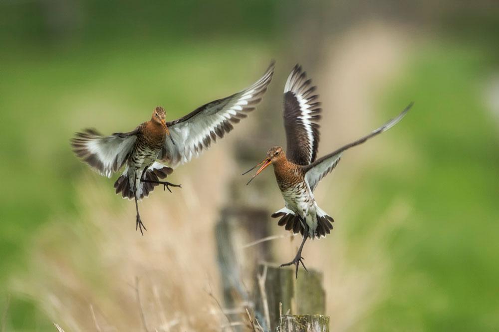 VS083 Uferschnepfen / black-tailed godwits