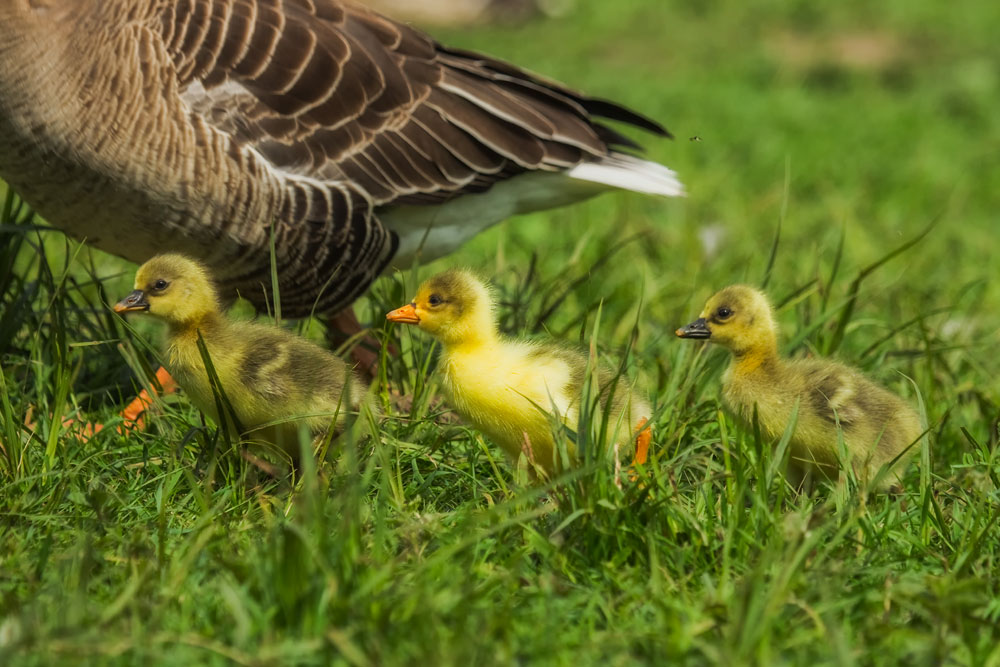 VS084 Graugansküken / greylag chicks