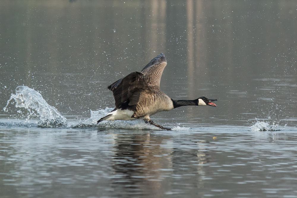 VS088 Kanadagans / canadian goose