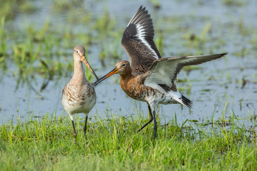 VS090 Uferschnepfen / black-tailed godwits