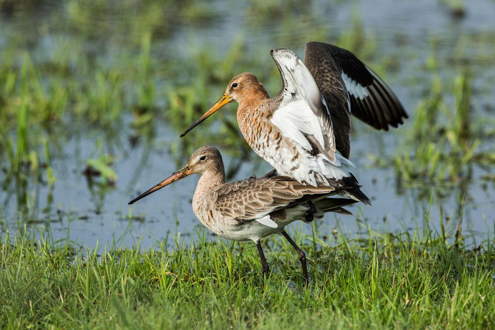 VS091 Uferschnepfen / black-tailed godwits