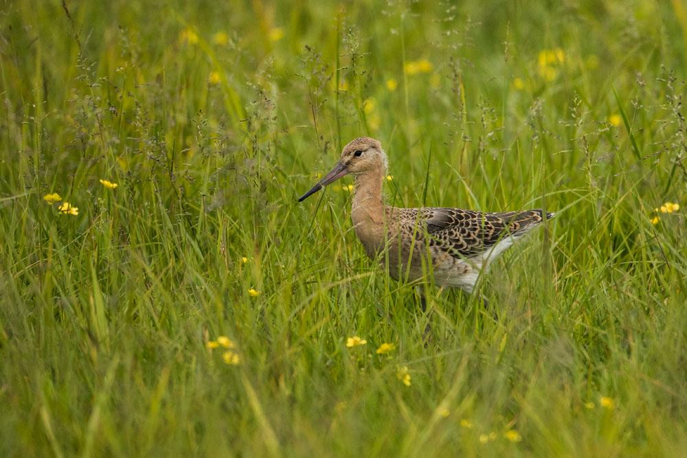 VS097 Junge Uferschnepfe / young black-tailed godwit
