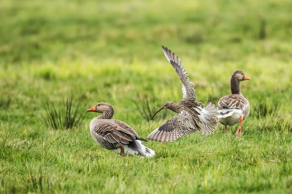 VS105 Graugänse und Grosser Brachvogel / greylag and eurasian curlew