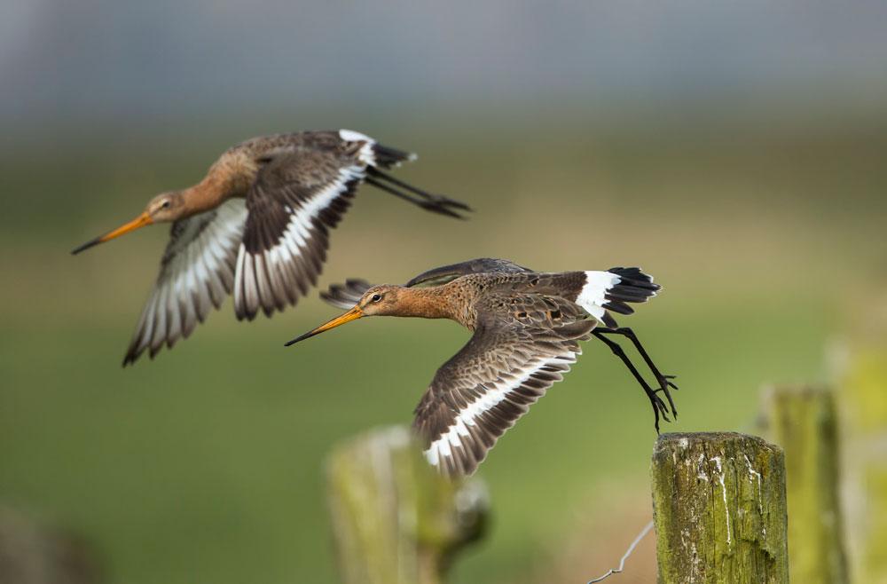 VS106 Uferschnepfen / black-tailed godwit