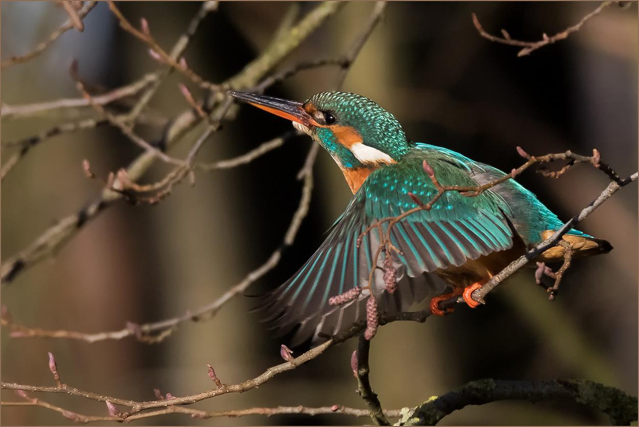 WVE014 Eisvogel / king fisher