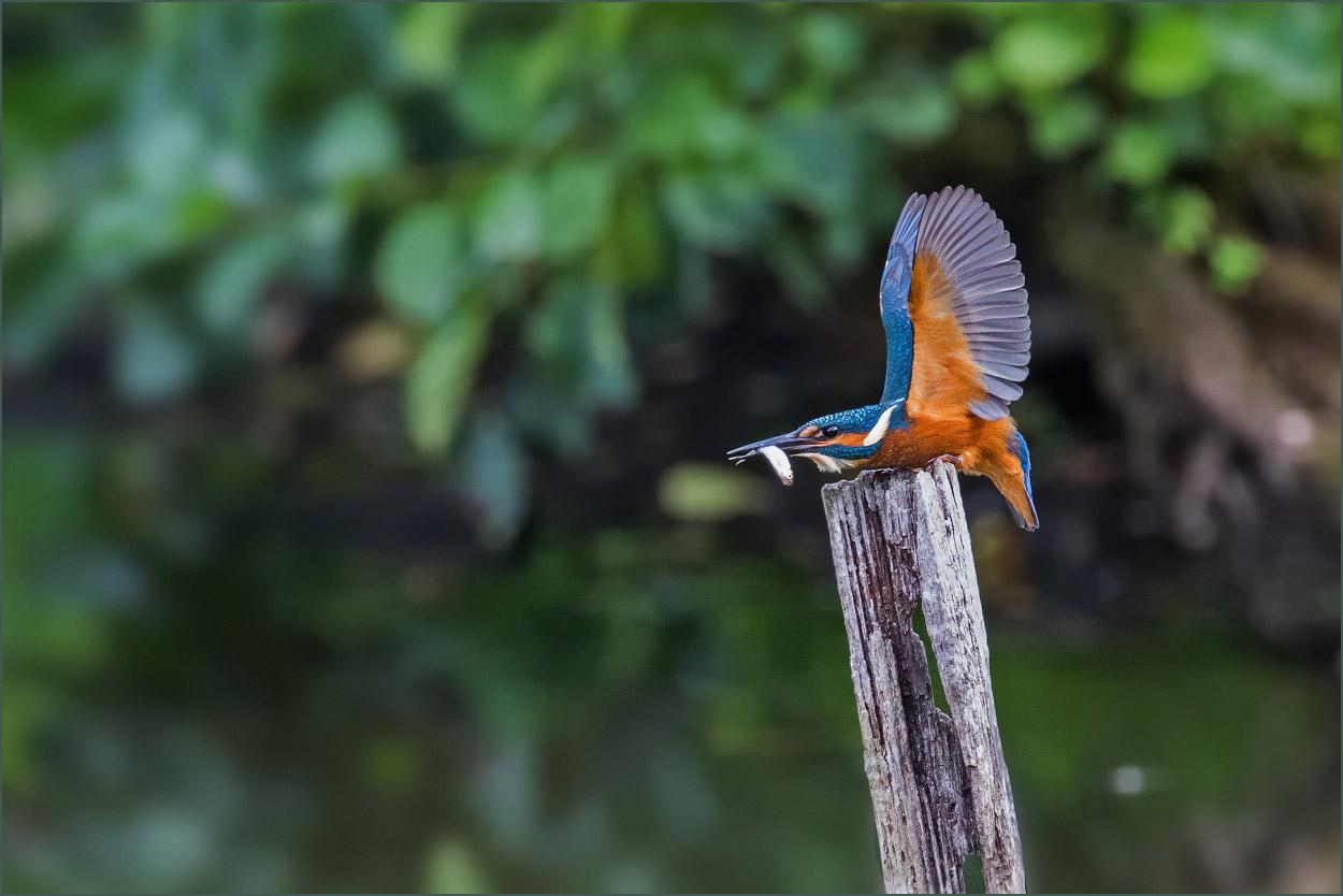 WVE019 Eisvogel / king fisher