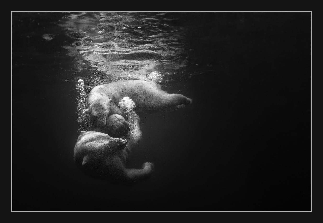 MT103 Eisbären / polar bears