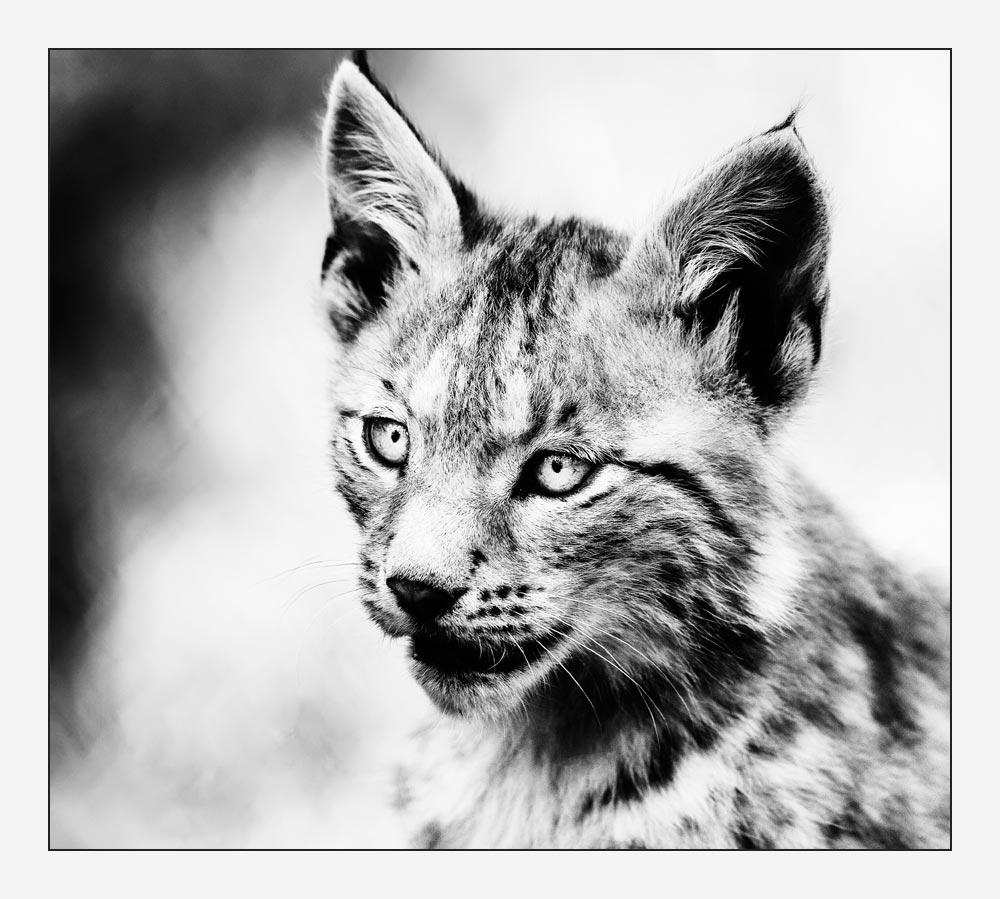 MT14 Junger Luchs / lynx cub
