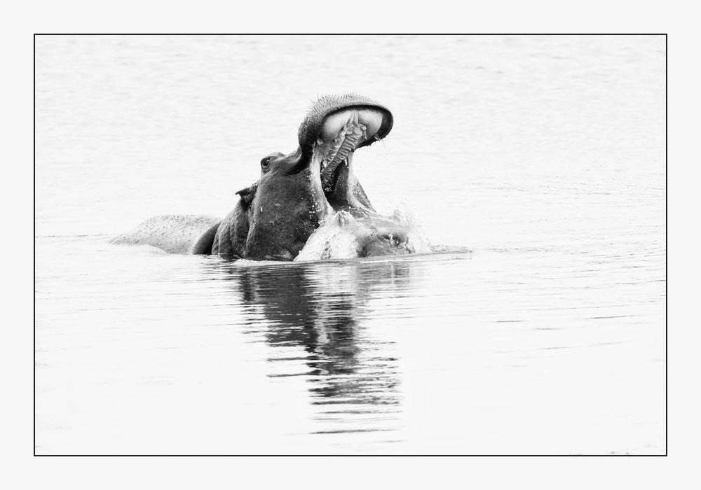 MT33 Flusspferd / hippo