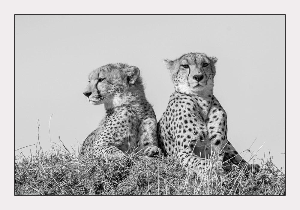 MT37 Geparden / cheetahs