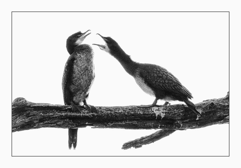 MT52 Kormoran / cormorant