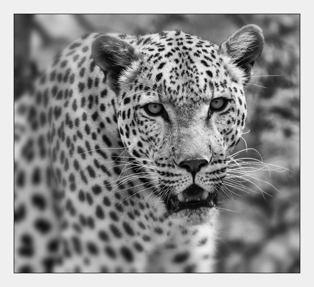 MT56 Leopard / leopard