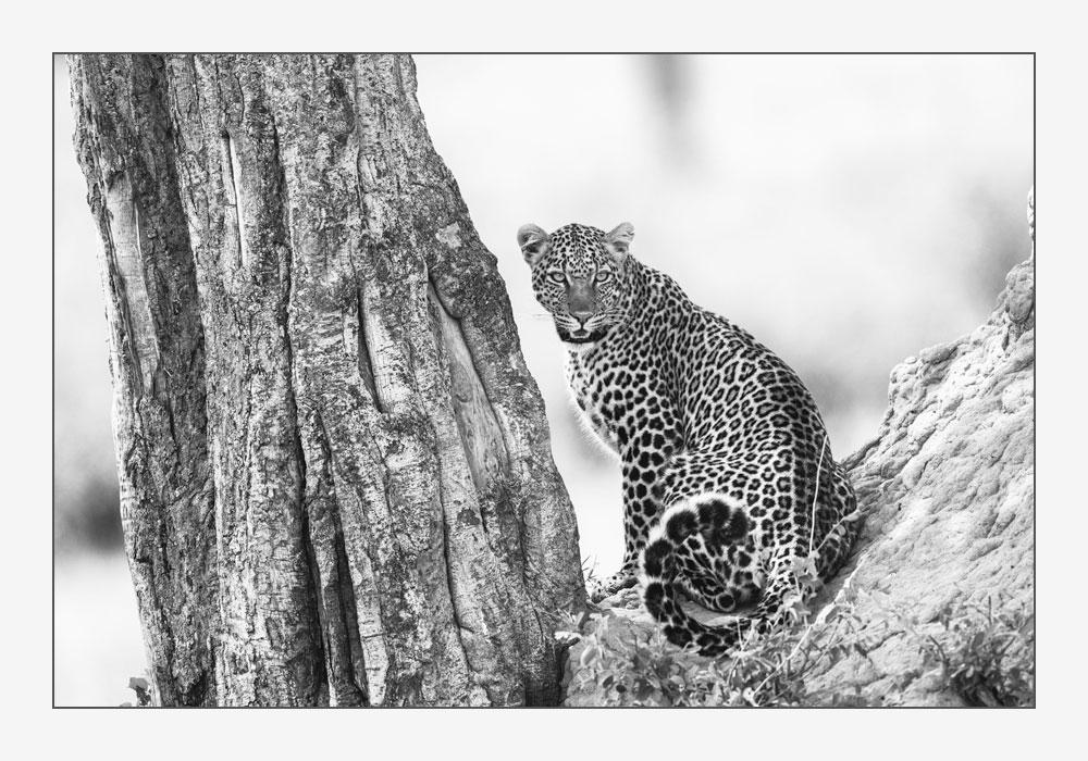 MT57 Leopard / leopard