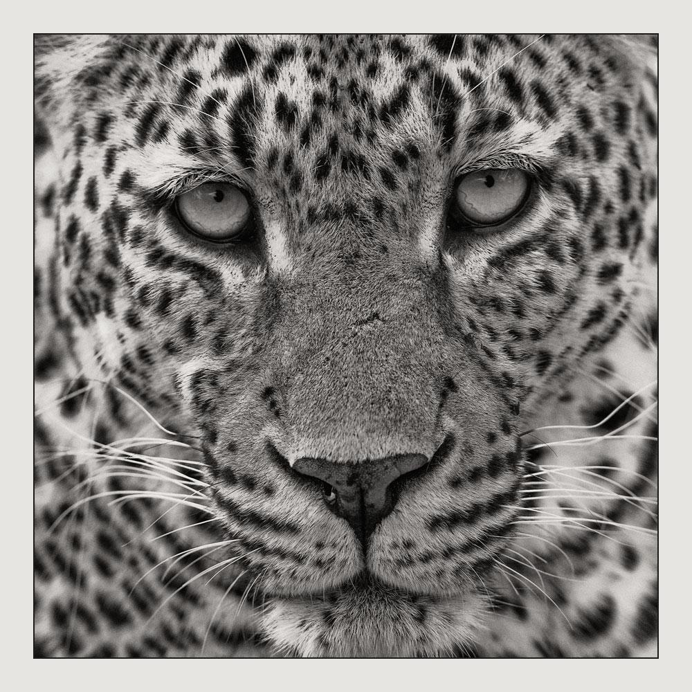 MT61 Leopard / leopard