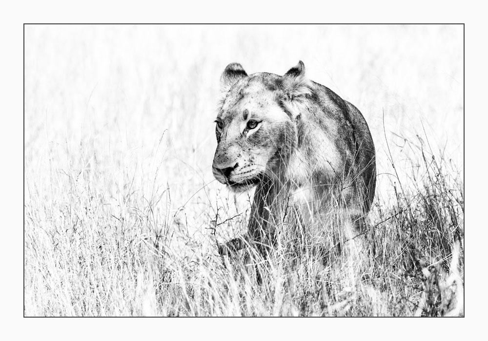 MT64 Löwin / lioness