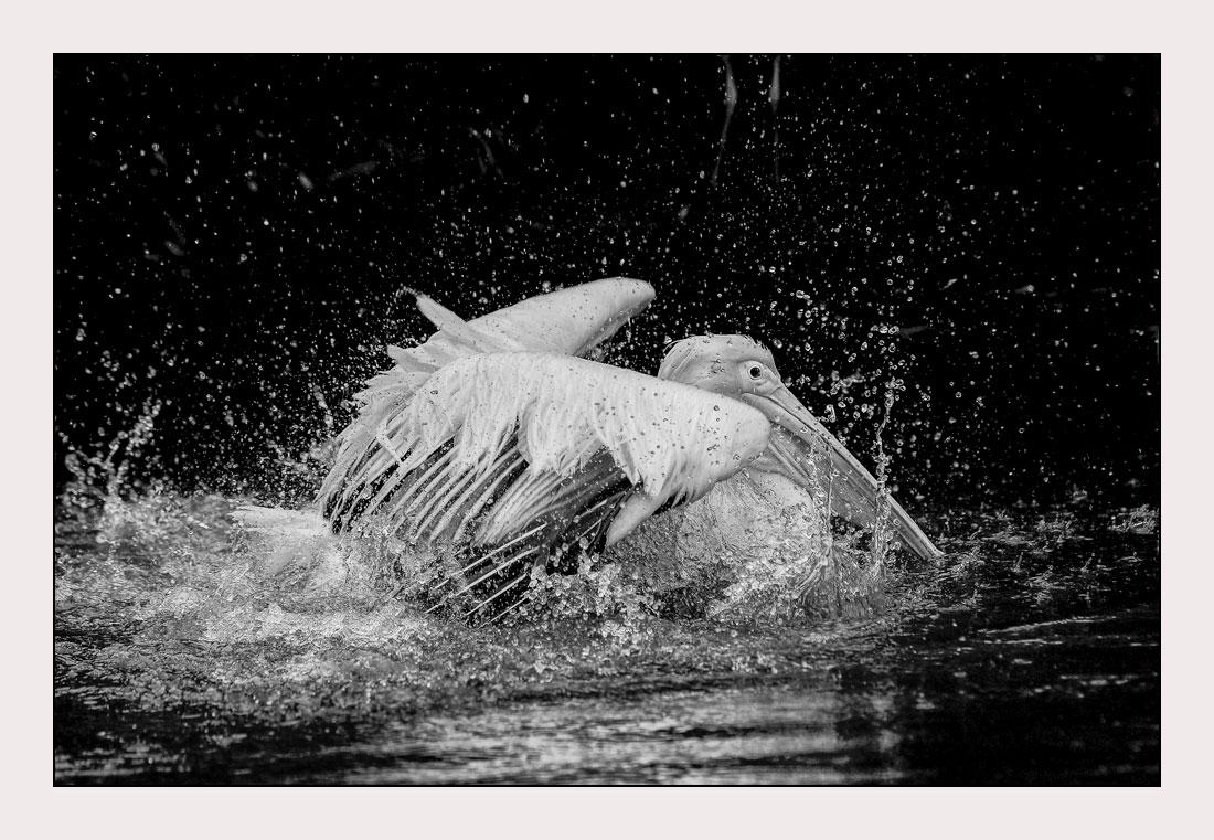 MT67 Pelikan / pelican