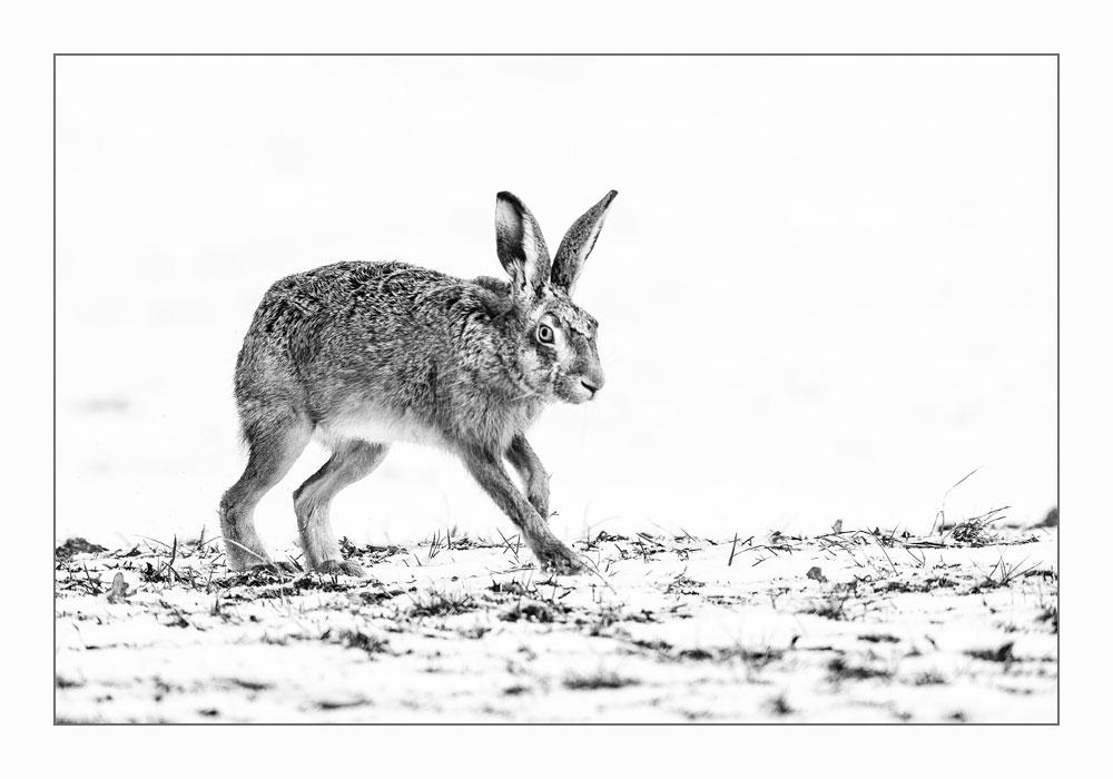MT97 Feldhase / hare