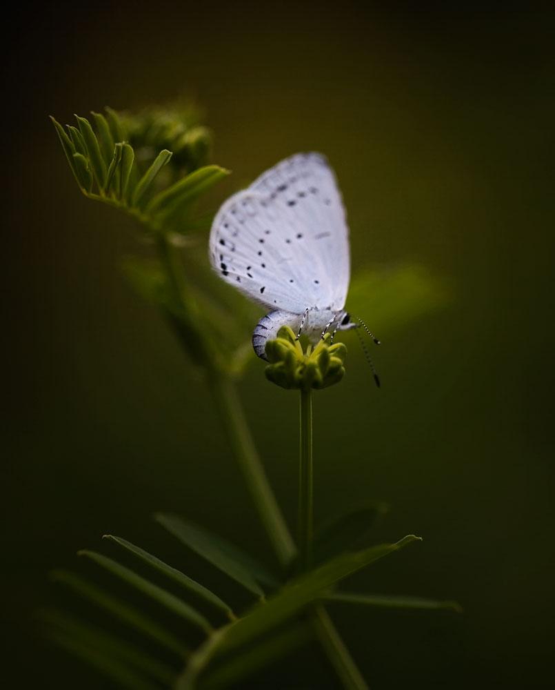 I02 Bläuling / blue butterfly