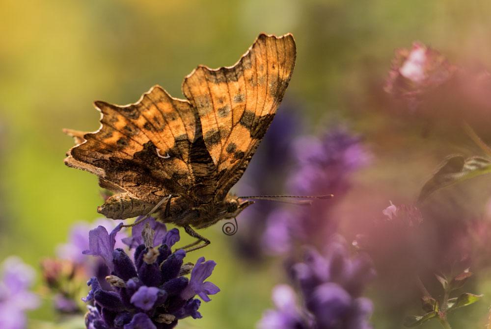 I13 C-Falter / C-butterfly