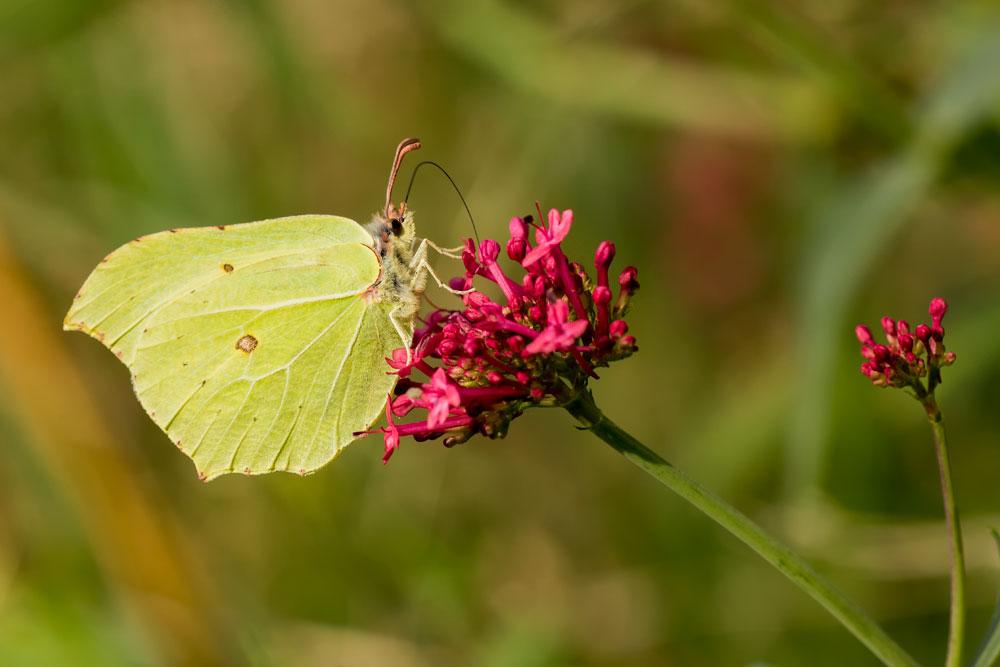 I24 Zitronenfalter / brimstone butterfly