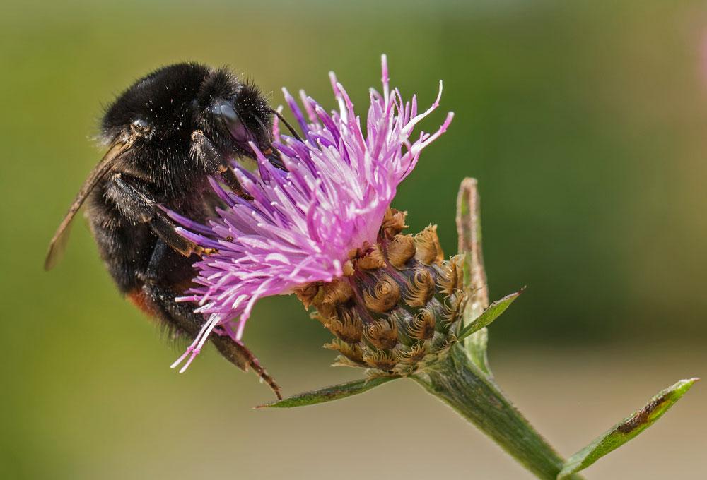 I30 Steinhummel / red-tailed bumblebee
